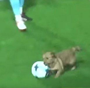 كلب يسرق كرة