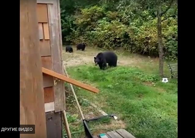 الدببة في بستان مواطن كندي