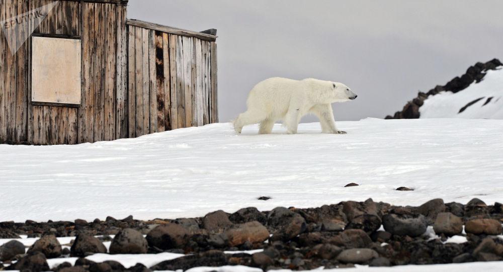 دب قطبي يسير على ضفة خليج تيخايا على جزيرة غوكر الواقعة في  أرخبيل أرض فرانس جوزيف في بحر بارنتس في منطقة القطب الشمالي