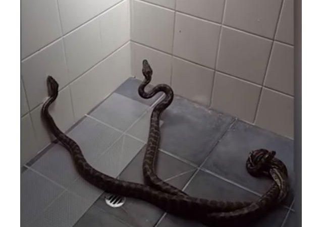 ثعبانين في الحمام