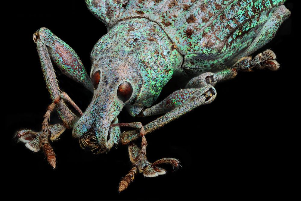 سوسية حقيقية (فصيلة من الحشرات: الفصيلة السوسية الحقيقية) والصورة مكبرة 10 مرات - فئة صور متميزة، إيطاليا