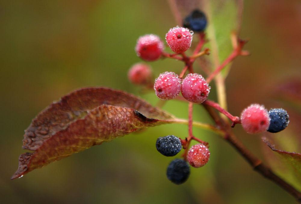 التوت وأوراق الخريف في ولاية نيو هامبشاير في الولايات المتحدة