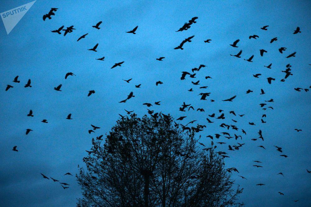 الطيور في سماء منطقة كيميروفو، روسيا