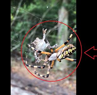 عنكبوت ضخم يفترس ضفدع وقع بشباكه