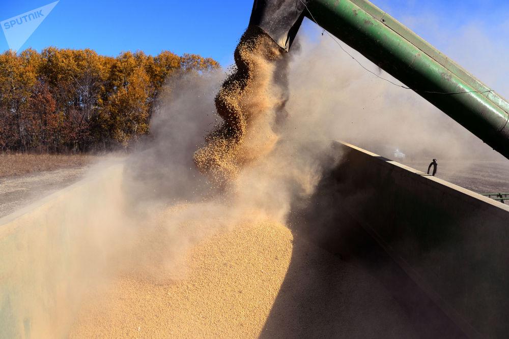 حصاد البقوليات في منطقة خاباروفسك