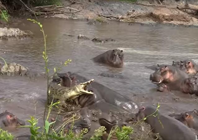أفراس النهر تهاجم تمساح