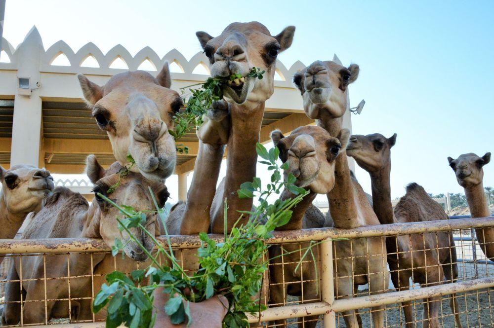 مزرعة الجمال الملكية في البحرين