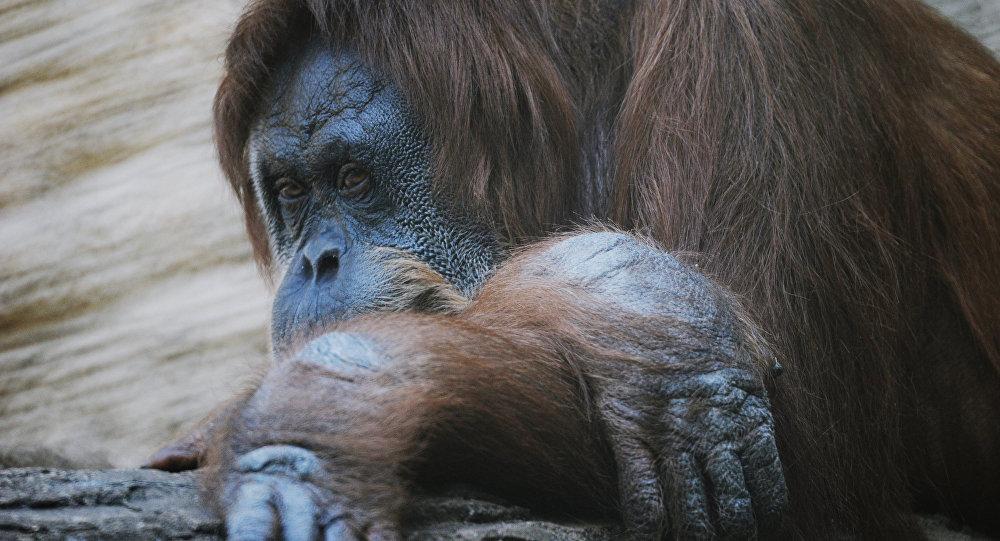 إكتشاف إنسان الغاب في سومطرة