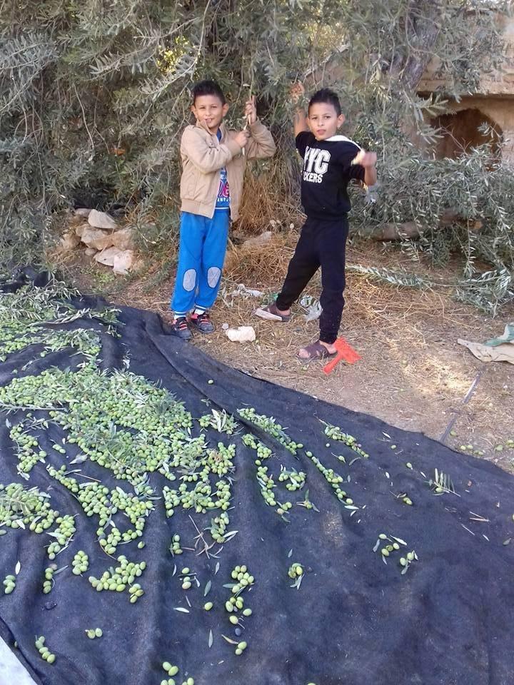الزيتون في إدلب