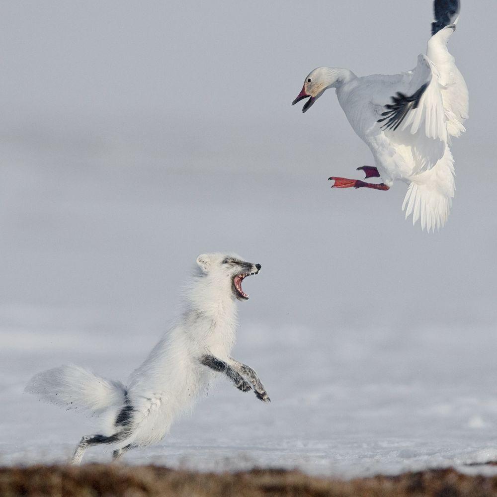 صورة بعنوان هجوم للمصور سيرغي غورششكوف، الحائزة المرتبة الأولى في الترشيح في فئة الحيوانات والبيئة