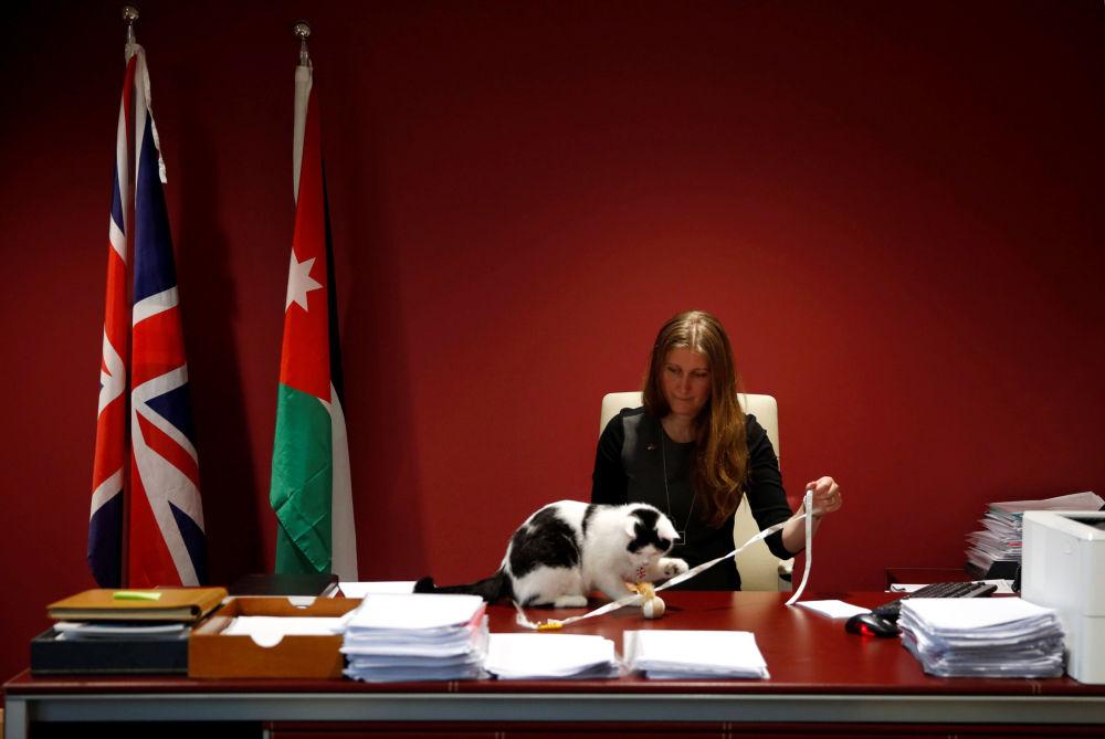 نائب السفير البريطاني إلى الاردن لاورا داوبن تلعب مع قطتها لورنس عبدون، وهو أول قط تابع للدبلوماسية البريطانية في الأردن، عمان 15 نوفمبر/ تشرين الثاني 2017