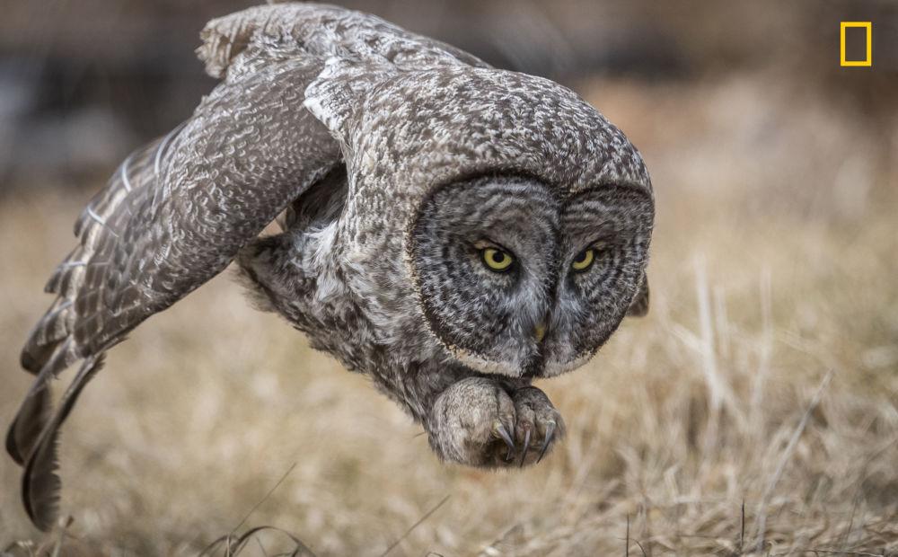 مسابقة ناشيونال جيوغرافيك للطبيعة لعام 2017 - المصور هاري كولينس، صورة لطائر البوم وهو يصطاد في نيوهامشير، الولايات المتحدة