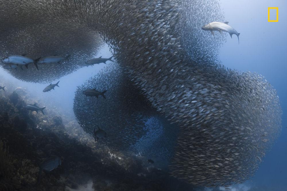 مسابقة ناشيونال جيوغرافيك للطبيعة لعام 2017 - المصور جينيفر أونيل، صورة لمجموعات الأسمالك الهائلة في جزيرة بونير بالبحر الكاريبي