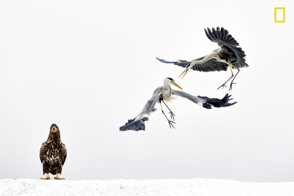 مسابقة ناشيونال جيوغرافيك للطبيعة لعام 2017 - المصور بينسي مايت، صورة بعنوان  اثنان من طيور مالك الحزين الرمادي يتشاجران على خلفية طائر عقاب أبيض الذنب في المجر (Two grey herons spar as a white-tailed eagle looks on in Hungary. ) في هاواي