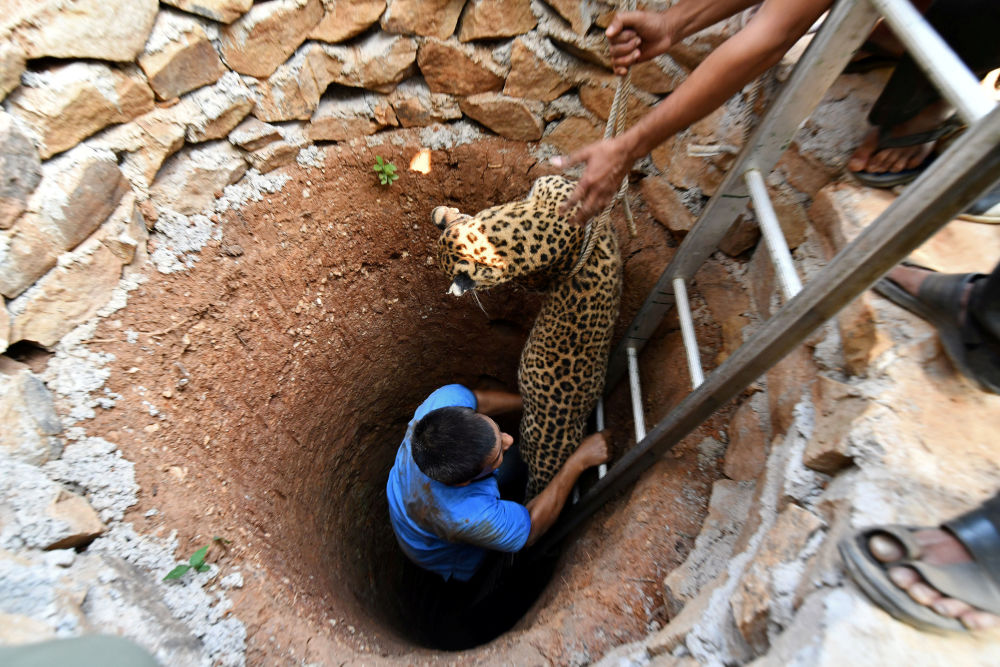 انقاذ أنثى الفهد من بئر سقطت فيه في منطقة غواهاتي، الهند 13 ديسمبر/ كانون الأول 2017