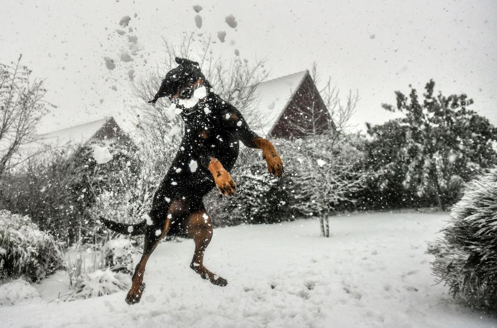 كلب يقفز للإمسكا بكرة الثلج في غوديوارسفيلد، فرنسا 11 ديسمبر/ كانون الأول 2017