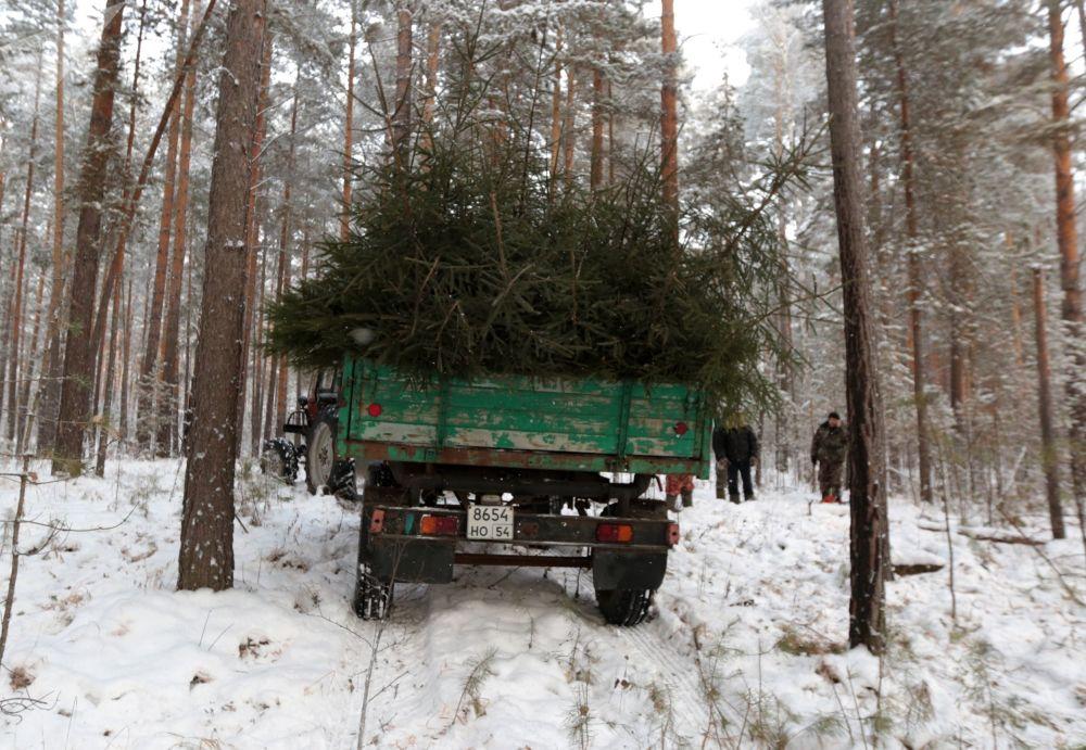 أشجار عيد الميلاد، المخصصة للبيع في عطلة رأس السنة الجديدة، في منطقة نوفوسيبيرسك