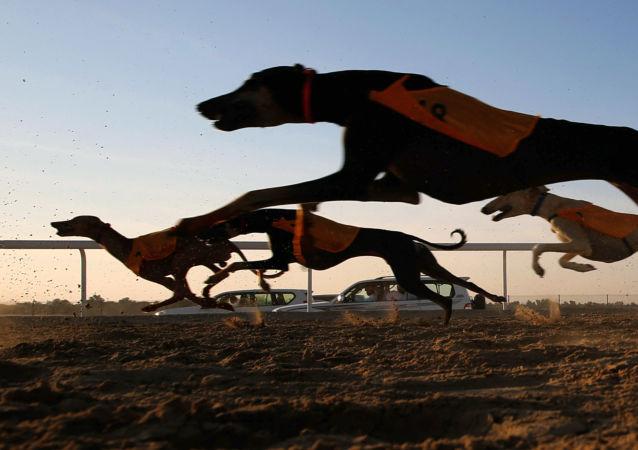 كلاب السلوقي خلال الظفرة للإبل في أبو ظبي، الإمارات المتحدة، 23 ديسمبر/ كانون الأول 2017