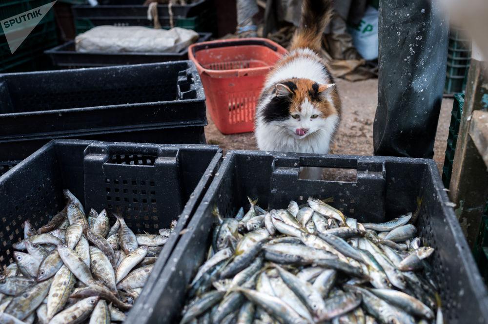 القط والأسماك في سيفاستوبل، القرم، روسيا