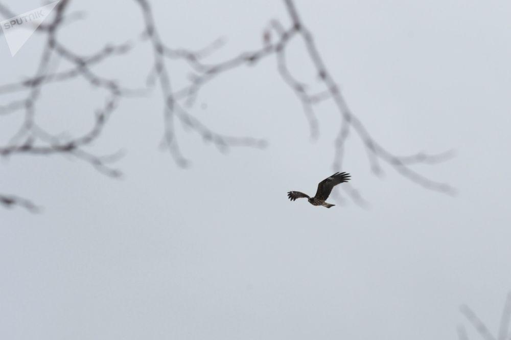 طائر عقاب أبيض الذنب يحلق فوق منطقة ساراتوفسكي كوردون في محمية الكوريل الطبيعية