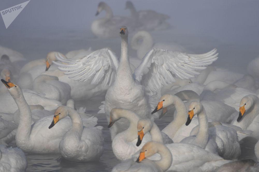 البجع خلال قضاء فصل الشتاء في بحيرة البجع، وتقع على أراضي الدولة محمية طبيعية ليبيديني في منطقة ألتايسكي كراي، روسيا