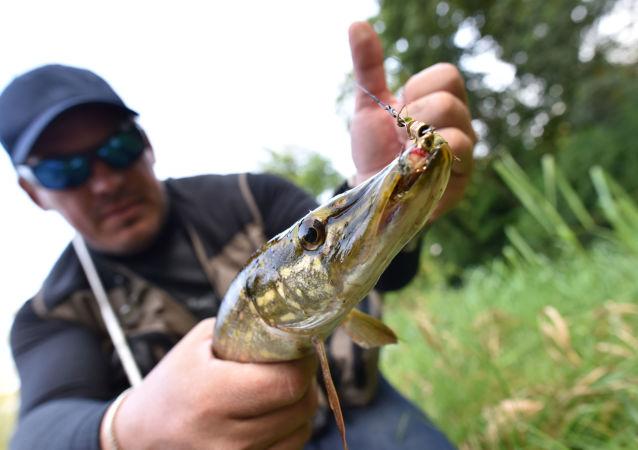 سمك الكراكي