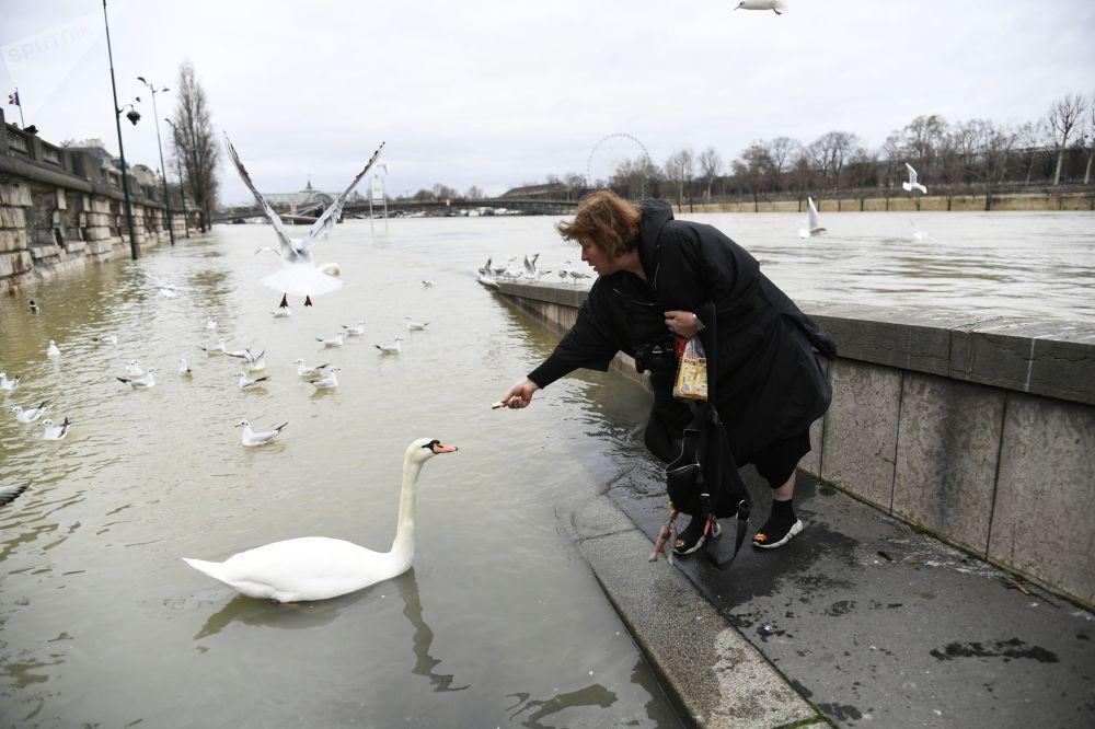 امرأة تطعم البجع في نهر السين خلال فيضان باريس، 29 يناير/ كانون الثاني 2018