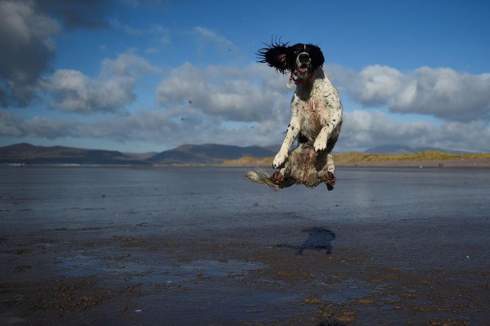 كلب يقفز للإمساك بالكرة على شاطئ في بلدة كيري في روسبيغ، أيرلندا 4 فبراير/ شباط 2018
