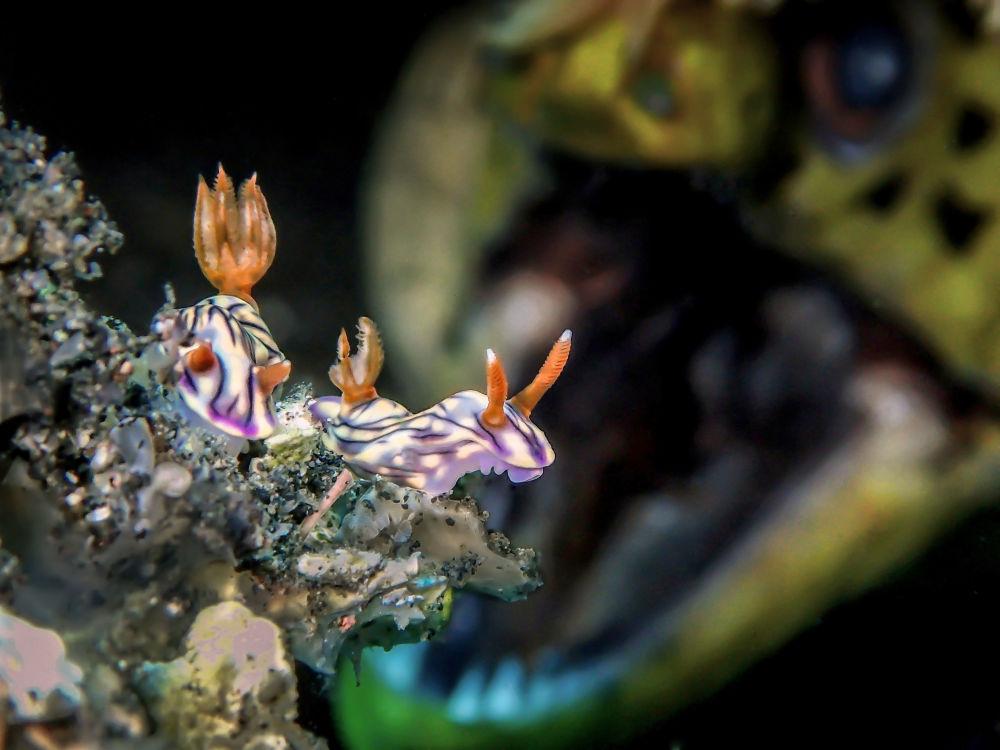 مسابقة صور تحت الماء لعام 2018 - صورة فائزة في ROAR  للمصور الماليزي مان بي دي، في فئة  Up & Coming