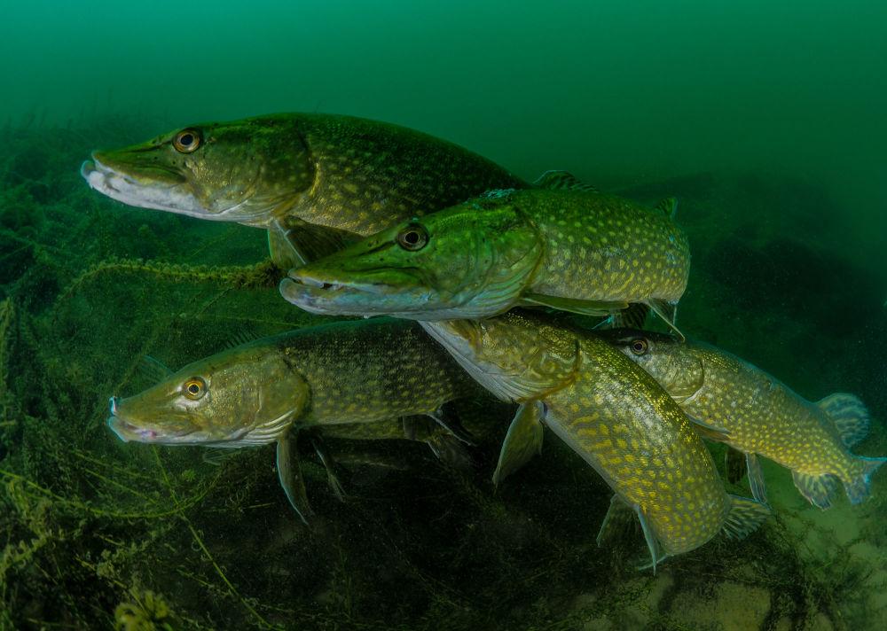 مسابقة صور تحت الماء لعام 2018 - صورة في How many pike? للمصور البريطاني توني ستيفينسون، في فئة  British Waters
