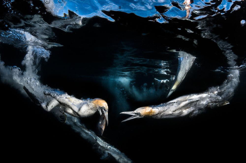 مسابقة صور تحت الماء لعام 2018 - صورة في المرتبة الثالثة Gannets feeding للمصور الفرنسي غريغ لوكور، في فئة  Behaviour