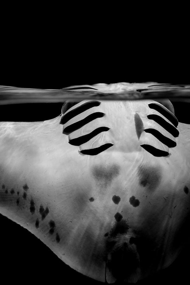 مسابقة صور تحت الماء لعام 2018 - صورة في المرتبة  الثانية Graceful manta للمصور السويسري سيلفي آير، في فئة  Black & White