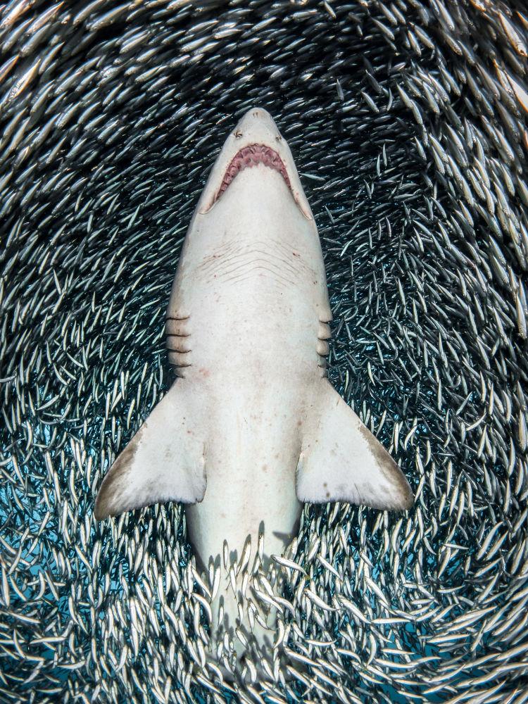 مسابقة صور تحت الماء لعام 2018 - صورة في المرتبة  الأولى A sand tiger shark surrounded by tiny bait fish للمصور الأمريكي تانيا هوبرمانز، في فئة  Portrait
