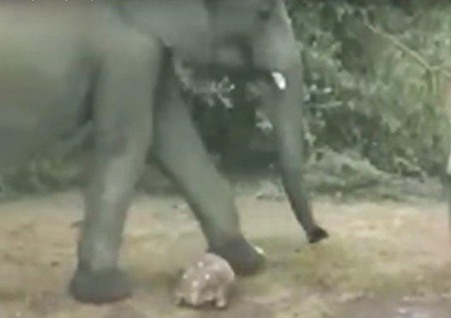 أفيال كادت أن تدهس سلحفاة في جنوب أفريقيا