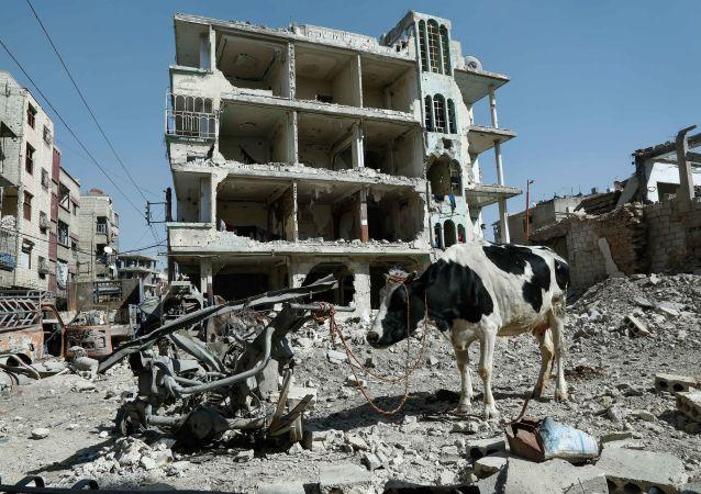 بقرة على خلفية ركام في دوما، الغوطة الشرقية، سوريا 12 مارس/ آذار 2018