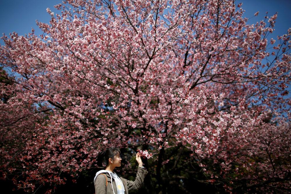 تفتح أزهار ساكورا (أزهار شجر الكرز في طوكيو، اليابان 14 مارس/ آذار 2018
