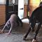 حصان يمارس اليوغا مع صاحبته
