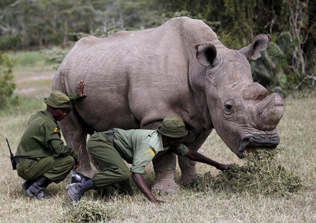 آخر ذكر من وحيد القرن الأبيض في العالم