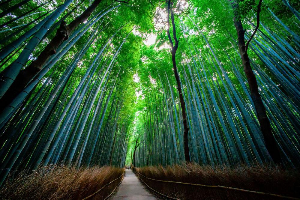غابة الخيزران ساغانو في محافظة كيوتو، اليابان