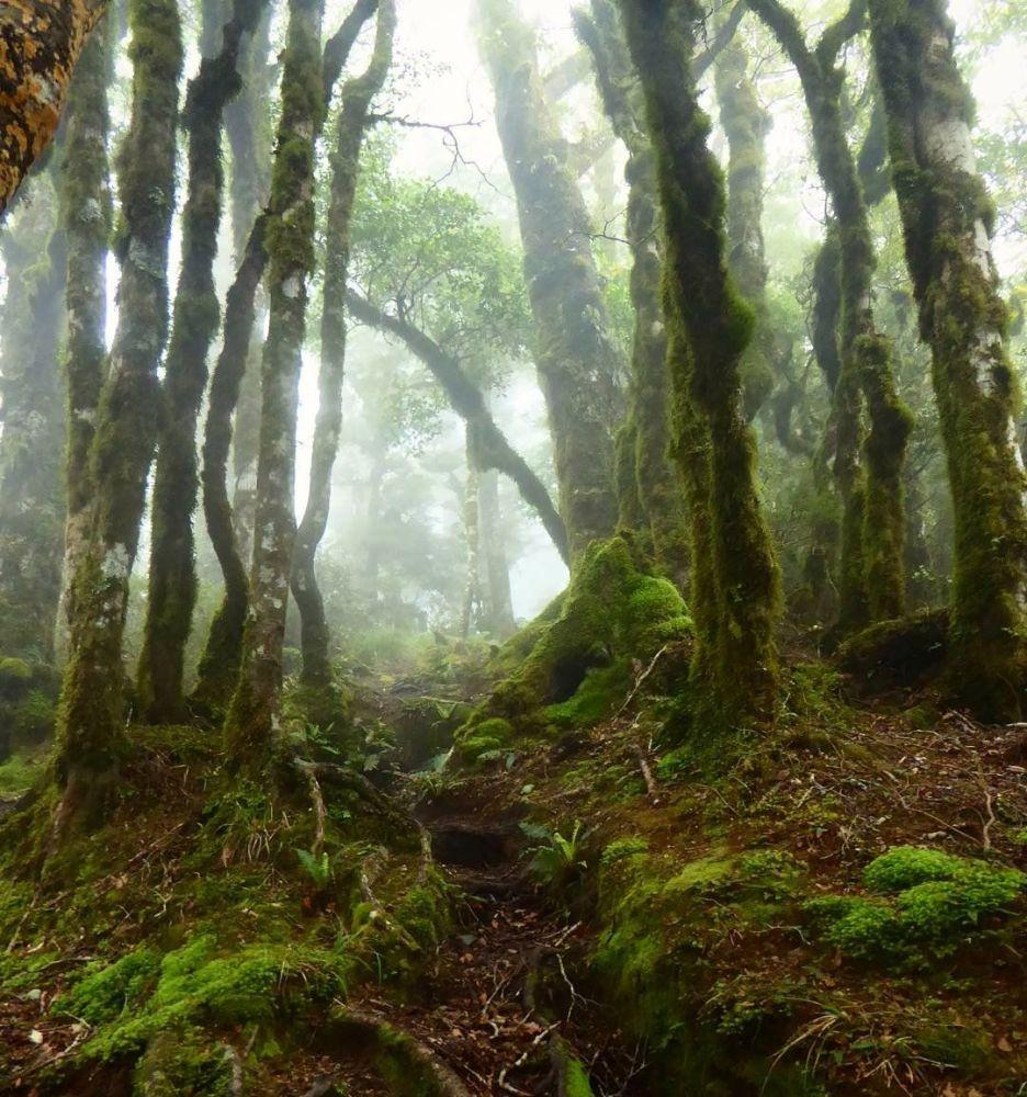 غابة العفاريت في نيوزيلندا. غالبًا ما تتراكم جذوع الأشجار وفروعها بطبقة سميكة جدا من الطحالب والأشنات