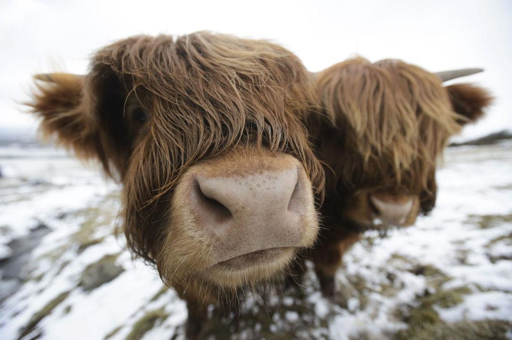 أبقار المرتفعات أثناء رعايتها في تلال كيلباتريك بالقرب من غلاسكو، اسكتلندا 18 مارس/ آذار 2018