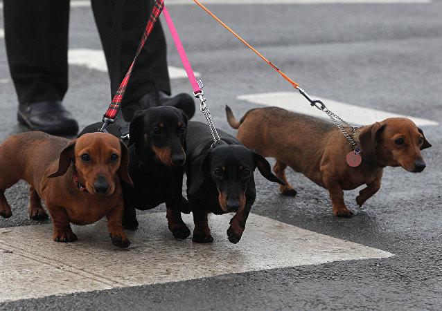 مجموعة من كلاب داكسونت
