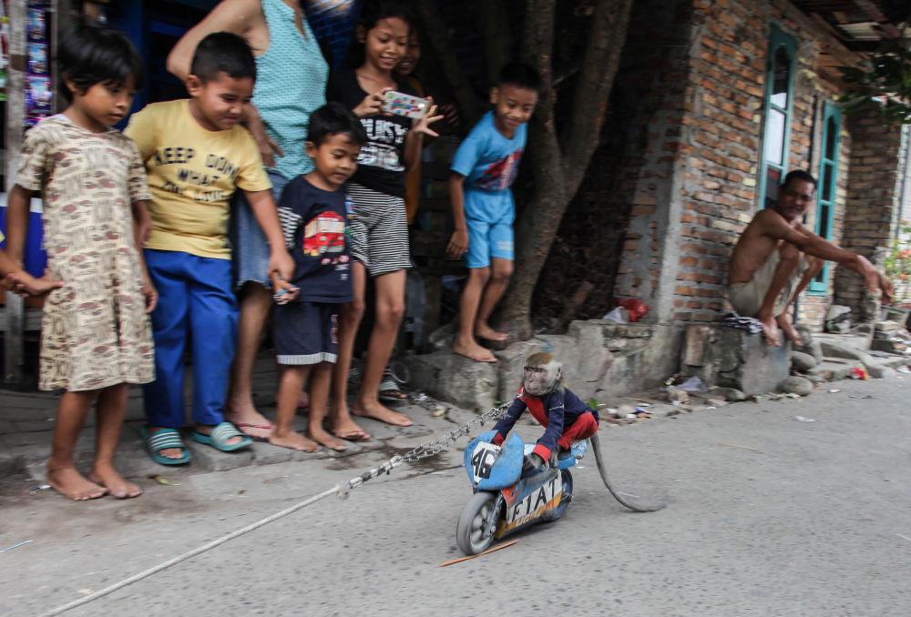 قرد يتدرب على أداء حيل مختلفة معروفة شعبيا باسم القرد المقنع، يسلي سكان في حي في ميدان  سومطرة الشمالية في 5 أبريل/ نيسان 2018