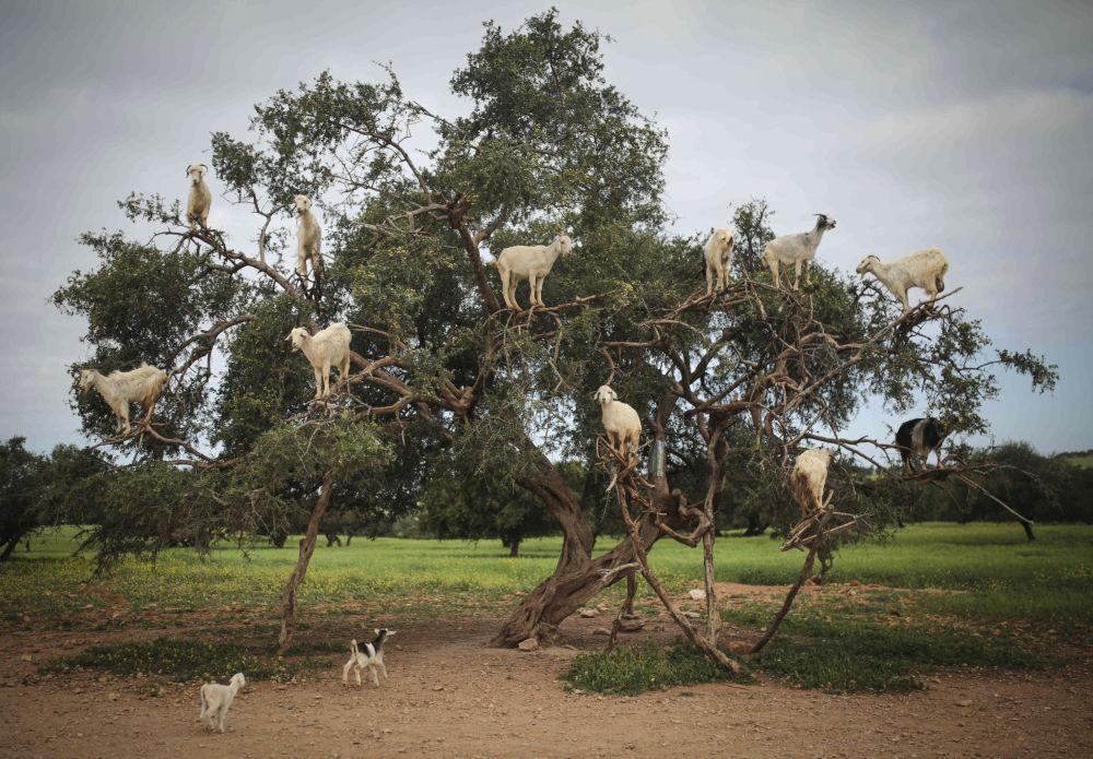 ماعز ترعى على أغصان أشجار أرغانيا سبينوزا، المعروفة باسم شجرة أرغان، في الصويرة، جنوب غرب المغرب 4 أبريل/ نيسان 2018