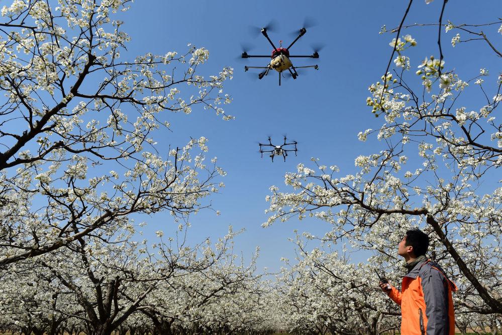 طائرة بدون طيار خلال عملية تلقيح الأزهار في مزرعة كمثرى في هانغتشو ، الصين 9 أبريل/ نيسان 2018