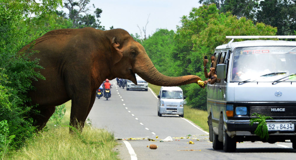 مارة على الطريق يتوقفون لإطعام فيلا في سريلانكا، 30 أبريل / نيسان 2018