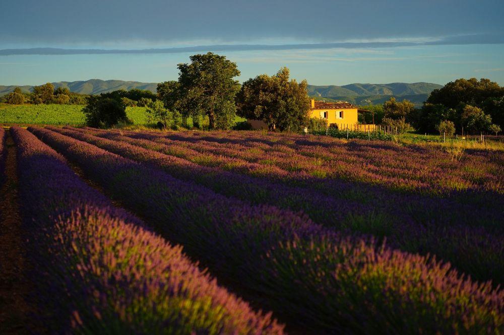 حقول اللافاندا ليلك في فرنسا