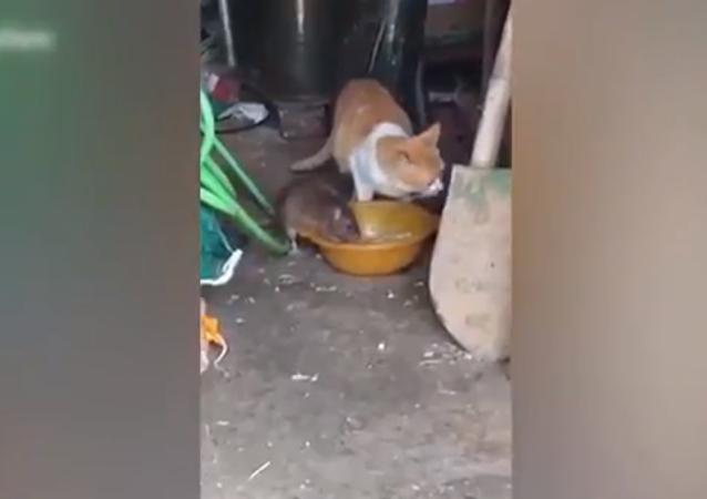 جرذ كبير يستولي على طعام القط أمام عينيه