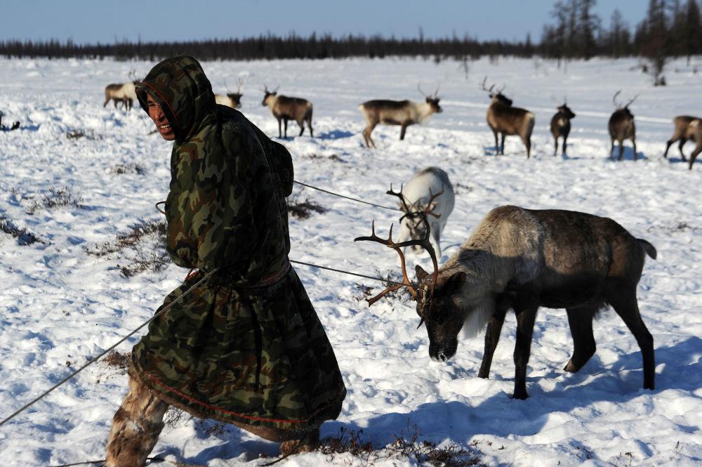 راعي لحيوان الرنة في منطقة يامال-نينيتس الروسية