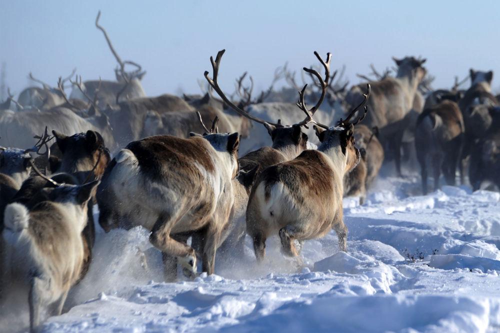 قطيع من الرنة في منطقة يامال-نينيتس الروسية